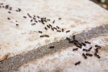 Ameisen im Kompost